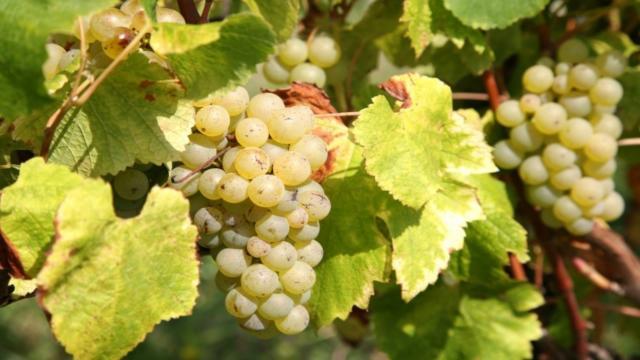 Grappe de raisins dans le vignoble de Bergerac