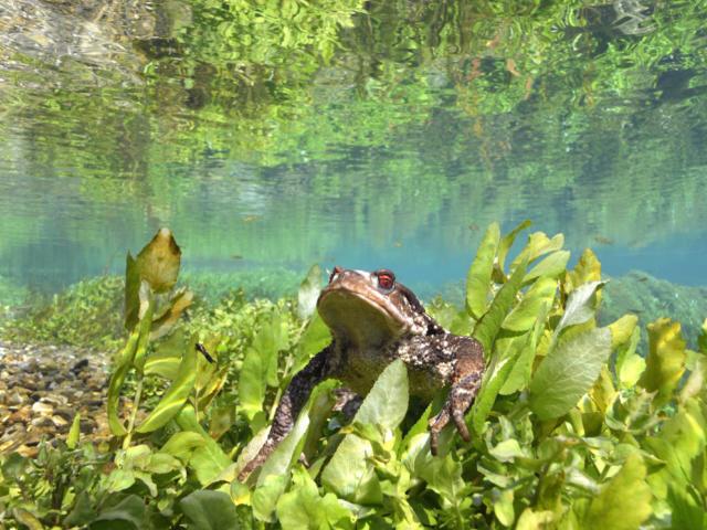 Crapaud Commun sur la rivière Dordogne