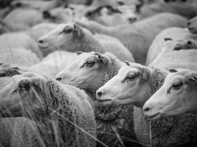 L'agneau 1